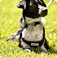 Border Collie/Australian Cattle Dog Mix Dog for adoption in Allen, Texas - Bogart