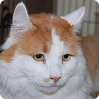 Domestic Shorthair Cat for adoption in Brooklyn, New York - Puttie