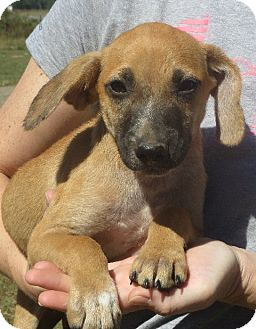 Beagle/Dachshund Mix Puppy for adoption in Greenville, Rhode Island - Buster Brown