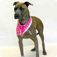 Pit Bull Terrier Mix Dog for adoption in Sanford, Florida - TWISTER