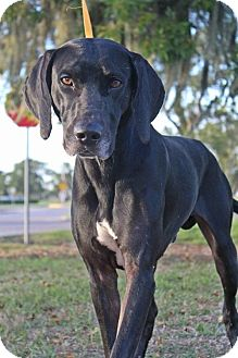 Great Dane/Coonhound Mix Dog for adoption in Lake Jackson, Texas - Clint--in foster