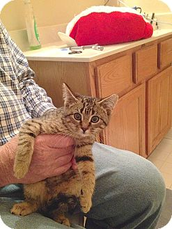 Domestic Shorthair Kitten for adoption in Hartland, Michigan - Lucy & Ethel