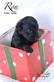 Shepherd (Unknown Type) Mix Puppy for adoption in Allen, Texas - Ron