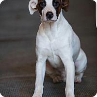 Adopt A Pet :: Zeus - Breinigsville, PA