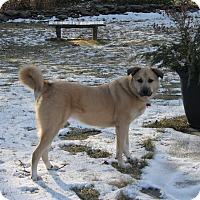 Adopt A Pet :: Ashley - Bedford Hills, NY