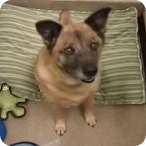 Australian Shepherd Mix Dog for adoption in Gilbert, Arizona - Paisley