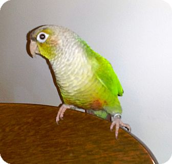 "Conure for adoption in Shawnee Mission, Kansas - Lou Lou aka ""Louie"""