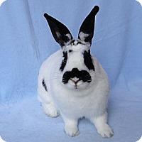 Adopt A Pet :: Bat Rabbitson - Los Angeles, CA
