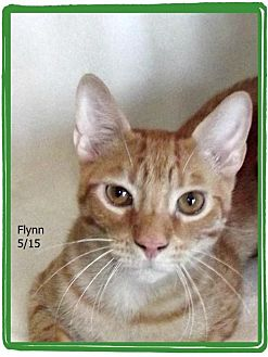 Domestic Shorthair Kitten for adoption in Plain City, Ohio - Flynn