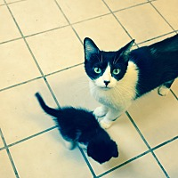 Adopt A Pet :: Puff and Kittens - Monrovia, CA