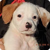 Adopt A Pet :: Lucky (5 lb) Unique Pup! - Sussex, NJ