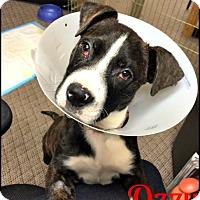 Adopt A Pet :: Ozzy - Cushing, OK