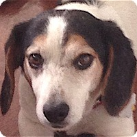 Adopt A Pet :: Cyrus - Houston, TX