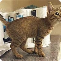 Adopt A Pet :: Eden Tabby - Chattanooga, TN