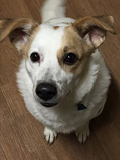 Collie/Beagle Mix Dog for adoption in Akron, Ohio - Lucy