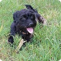Adopt A Pet :: Scotty - Willingboro, NJ