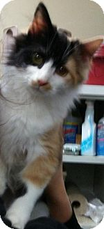 Calico Kitten for adoption in Morganton, North Carolina - Molly 1
