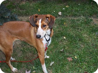 Foxhound Mix Dog for adoption in Mentor, Ohio - Jada