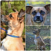 Chihuahua/Rat Terrier Mix Dog for adoption in Siler City, North Carolina - Finley