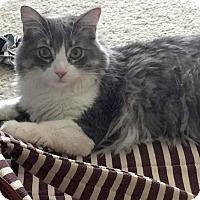 Adopt A Pet :: Cupcake - North Las Vegas, NV