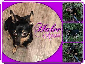 Chihuahua Mix Dog for adoption in San Antonio, Texas - HALEE