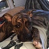 Adopt A Pet :: Zoey - Huntington, NY