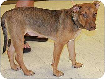Rhodesian Ridgeback/Vizsla Mix Dog for adoption in Gilbert, Arizona - Tater