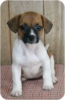 jack russell pug mix puppy dolly madison adopted puppy mt airy nc jack russell 2010