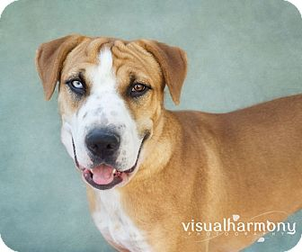 Boxer/Shar Pei Mix Dog for adoption in Phoenix, Arizona - Khloe