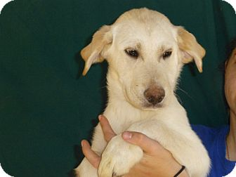 Golden Retriever/Labrador Retriever Mix Puppy for adoption in Oviedo, Florida - Sam