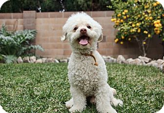 Poodle (Miniature) Mix Dog for adoption in Huntington Beach, California - Louie