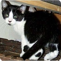 Domestic Shorthair Cat for adoption in Chattanooga, Tennessee - Batman