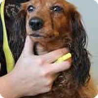 Adopt A Pet :: Henry Brownie - Shawnee Mission, KS