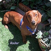 Adopt A Pet :: Radar - Chandler, AZ