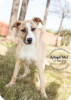 Collie/Shepherd (Unknown Type) Mix Dog for adoption in Cat Spring, Texas - Sandi