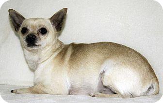 Chihuahua Mix Dog for adoption in Cumberland, Maryland - Taquito