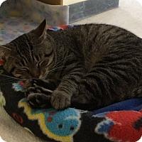Adopt A Pet :: Simba - Byron Center, MI