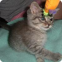 Adopt A Pet :: Freya - Springdale, AR