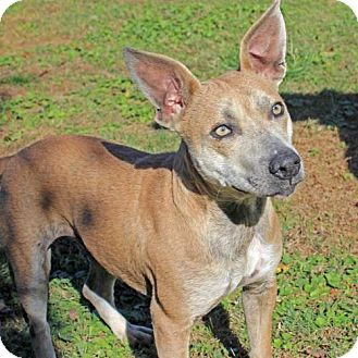 Terrier (Unknown Type, Medium)/Australian Cattle Dog Mix Dog for adoption in Brownsboro, Alabama - Skylar
