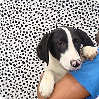 Adopt A Pet :: Xena - Oviedo, FL