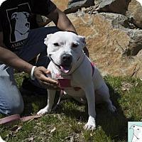Adopt A Pet :: Meg - Gainesville, VA