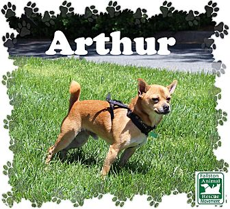 Chihuahua Mix Dog for adoption in Fallston, Maryland - Arthur