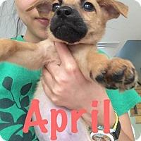 Adopt A Pet :: April - Houston, TX