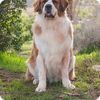St. Bernard Dog for adoption in Washoe Valley, Nevada - Bently