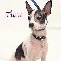 Adopt A Pet :: Tutu - Bradenton, FL