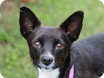 Chihuahua/Pomeranian Mix Dog for adoption in Nanuet, New York - Sissy - ADOPTION IN PROGRESS