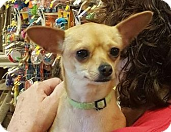 Chihuahua Dog for adoption in Fort Worth, Texas - BaeBae