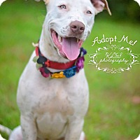 American Bulldog/Labrador Retriever Mix Dog for adoption in Fort Valley, Georgia - Leia