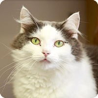 Domestic Longhair Cat for adoption in Kettering, Ohio - Snickerdoodle Cinnamon