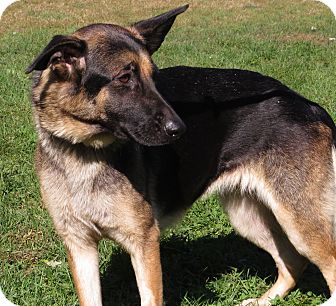 German Shepherd Dog Mix Dog for adoption in Unionville, Pennsylvania - Marisol